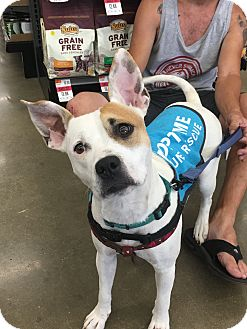 Cattle Dog/Pit Bull Terrier Mix Dog for adoption in Fort Collins, Colorado - Paloma