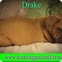 Adopt A Pet :: Drake - Pensacola, FL