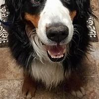 Adopt A Pet :: Schivo Vegas -- HOSPICE - Pittsburg, CA