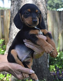 Dachshund/Yorkie, Yorkshire Terrier Mix Puppy for adoption in Lake Pansoffkee, Florida - Basil Exposition