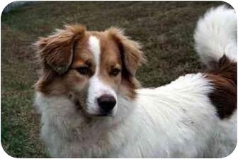 Australian Shepherd/Collie Mix Dog for adoption in Albany, Georgia - Sydney