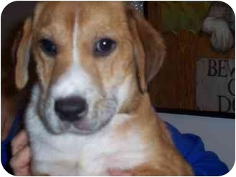Beagle/Golden Retriever Mix Puppy for adoption in Ventnor City, New Jersey - RYAN