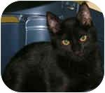 Domestic Shorthair Kitten for adoption in Englewood, Florida - Phoebe