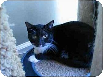 Domestic Shorthair Cat for adoption in Toluca Lake, California - Lola