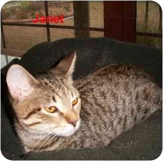 Domestic Shorthair Cat for adoption in Slidell, Louisiana - Janet