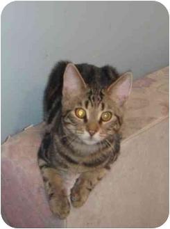 Domestic Shorthair Kitten for adoption in Montreal, Quebec - Samuel
