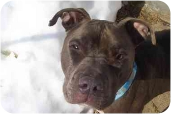 American Pit Bull Terrier Mix Dog for adoption in Worcester, Massachusetts - Troy