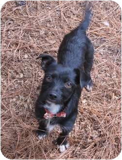 Terrier (Unknown Type, Small)/Chihuahua Mix Dog for adoption in Salem, Oregon - Tommy