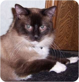 Domestic Longhair Cat for adoption in Oklahoma City, Oklahoma - Murphy