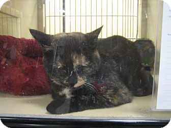 Calico Cat for adoption in Weatherford, Texas - Cali
