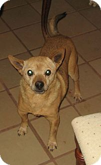 Chihuahua Mix Dog for adoption in Rio Rancho, New Mexico - Odie
