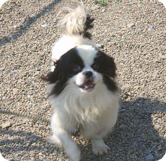 Shih Tzu Mix Dog for adoption in Coudersport, Pennsylvania - JOEY