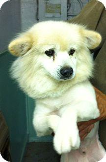American Eskimo Dog Dog for adoption in Boulder, Colorado - Shawn-PENDING
