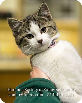 Domestic Shorthair Kitten for adoption in Somerset, Pennsylvania - Iris