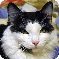 Domestic Shorthair Cat for adoption in Phoenix, Arizona - Charlotte