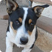 Adopt A Pet :: Capone - dewey, AZ