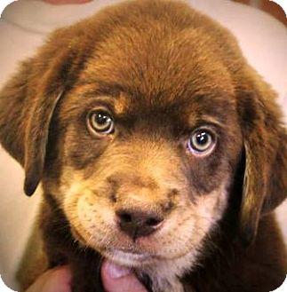 German Shepherd Dog/Husky Mix Puppy for adoption in Oswego, Illinois - I'M ADOPTED Alex Wozniak