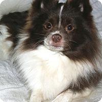Adopt A Pet :: Sampson - Lodi, CA