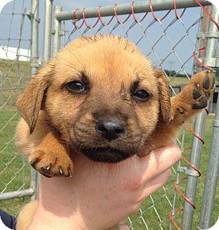 German Shepherd Dog/Golden Retriever Mix Puppy for adoption in MILWAUKEE, Wisconsin - ELLIE