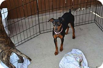 Miniature Pinscher Mix Dog for adoption in Rockford, Illinois - Daisey Mae