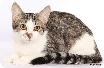 Domestic Shorthair Kitten for adoption in Las Vegas, Nevada - Shannon