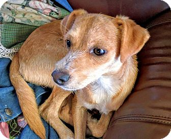 Terrier (Unknown Type, Small) Mix Dog for adoption in Austin, Texas - Lucky