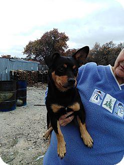 Corgi/Dachshund Mix Dog for adoption in springtown, Texas - Chappy