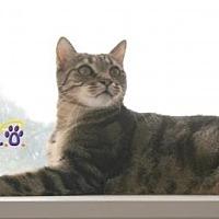 Domestic Shorthair Cat for adoption in Sebastian, Florida - Mousy