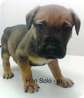 Boxer/Mastiff Mix Puppy for adoption in Media, Pennsylvania - HAN SOLO **Star Wars Puppy**