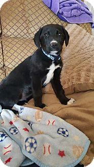 Labrador Retriever/Australian Shepherd Mix Puppy for adoption in HESPERIA, California - hoagie