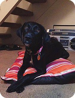 Labrador Retriever Mix Dog for adoption in Austin, Texas - Bellatrix