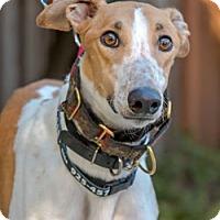 Adopt A Pet :: Montana - Walnut Creek, CA