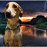 Foxhound/Greyhound Mix Dog for adoption in Fairfield, California - BESSY