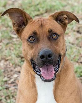 Boxer/Labrador Retriever Mix Dog for adoption in Loxahatchee, Florida - Luke