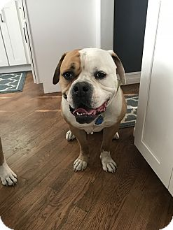 American Bulldog Mix Dog for adoption in Commerce Township, Michigan - Zeus