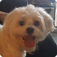 Adopt A Pet :: Maddox - Canoga Park, CA