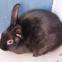 Adopt A Pet :: *PUMBA - Las Vegas, NV
