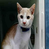 Adopt A Pet :: COSMO - Canfield, OH