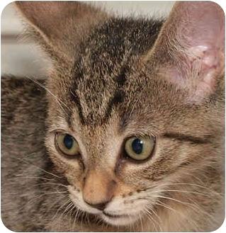Domestic Shorthair Kitten for adoption in Upland, California - Clementine