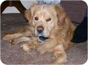 Cocker Spaniel/Golden Retriever Mix Dog for adoption in Swartz Creek, Michigan - Harley