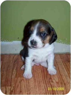 Beagle/Wirehaired Fox Terrier Mix Puppy for adoption in Plainfield, Illinois - Rubik