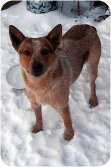 Australian Cattle Dog Dog for adoption in Siler City, North Carolina - Kantey