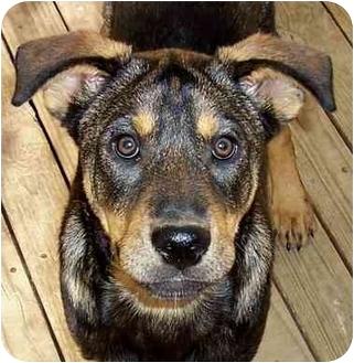 Rottweiler/Shepherd (Unknown Type) Mix Dog for adoption in Olive Branch, Mississippi - Gangsta-THUG!