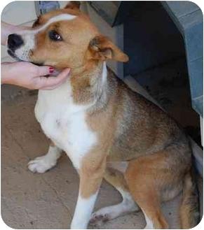 Collie/Corgi Mix Dog for adoption in Tahlequah, Oklahoma - Em