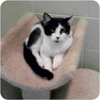 Domestic Shorthair Cat for adoption in Slidell, Louisiana - Eva