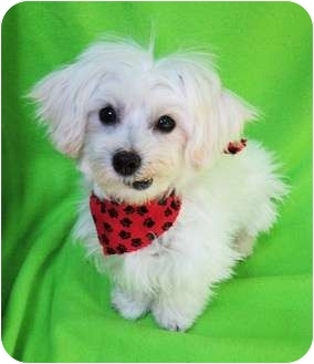 Maltese Puppy for adoption in Irvine, California - Oliver