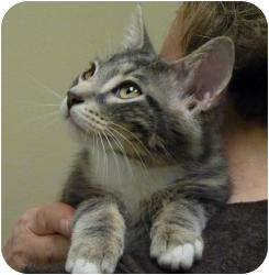 Domestic Shorthair Kitten for adoption in Chicago, Illinois - Bobby