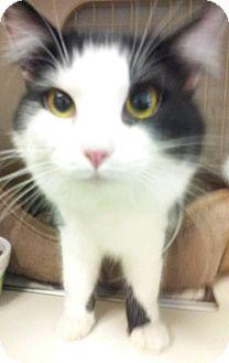 Domestic Longhair Kitten for adoption in Chandler, Arizona - Boston