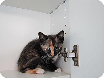 Domestic Shorthair Kitten for adoption in Bradenton, Florida - Catsup