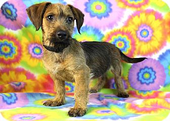 Terrier (Unknown Type, Medium) Mix Puppy for adoption in Westminster, Colorado - Coffee Coffee Buzz Buzz Buzz